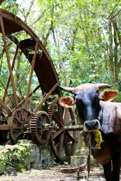 Cow grazing in an abandoned sugar mill in Hampstead.