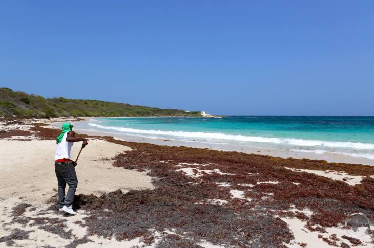 Raking Sargassum seaweed off Half Moon Bay.