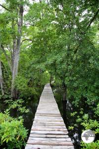 Mangrove walkway at the Pacific Tree-lodge resort.