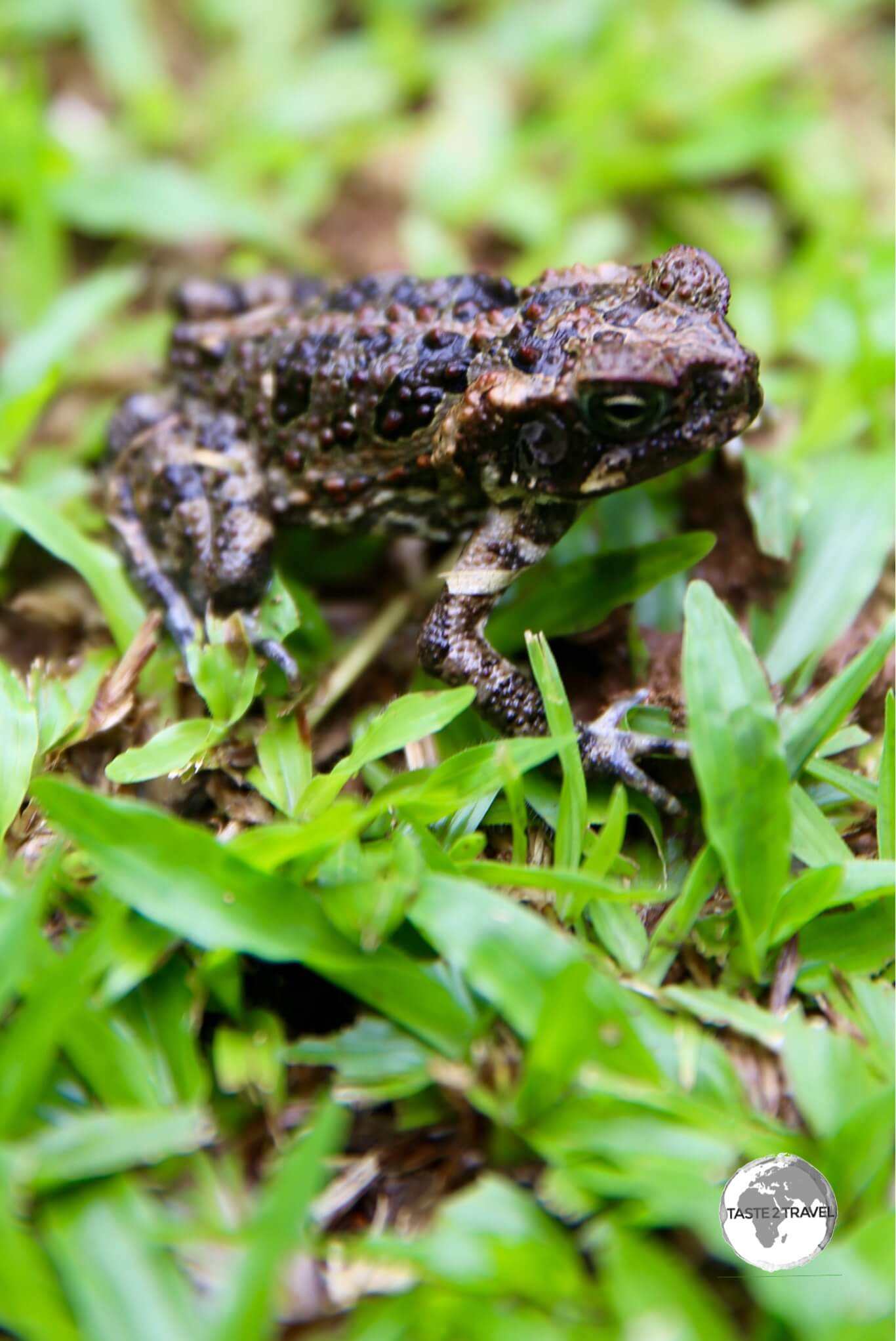 The Palau Ground Frog is endemic to Palau.