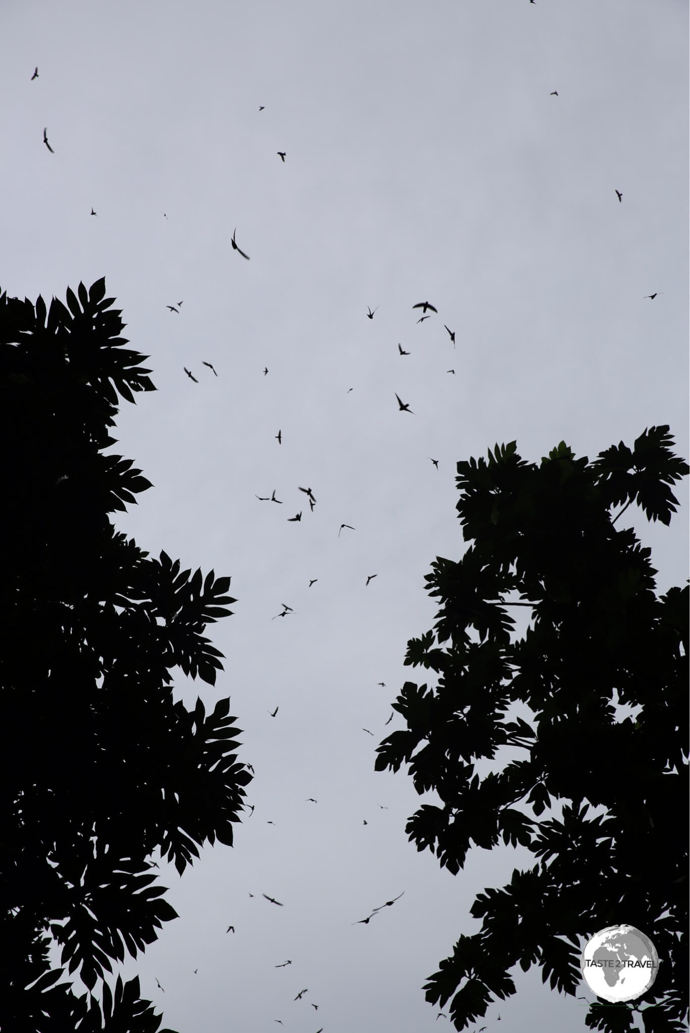 Swiftlets at the entrance to the cave.