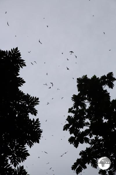 Swiftlets at the entrance of Wiya Bird cave.