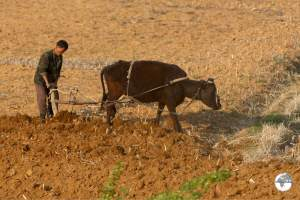 Manual farming in North Korea.