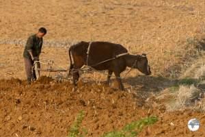 Manual farming in North Korea.