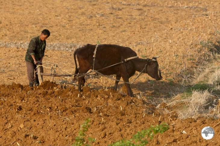 Farming in DPRK has hardly changed over the centuries, with most of it done manually.