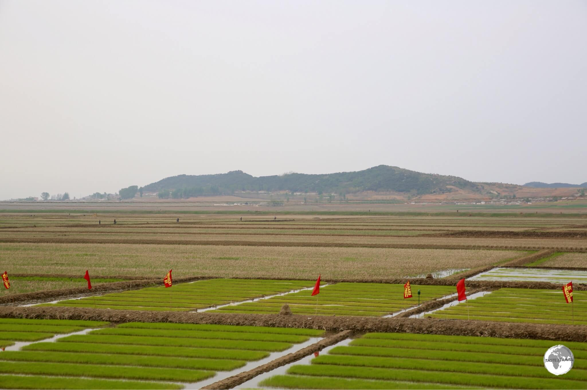 Rice seedlings being harvested near Nampo. All arable land is intensely farmed – mostly by hand.