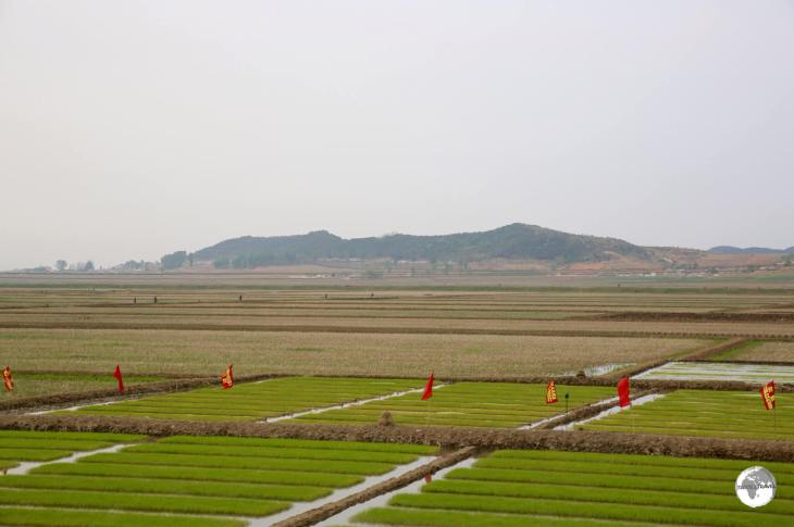 Rice seedlings being harvested near Nampo. All arable land in North Korea is intensely farmed - mostly by hand.