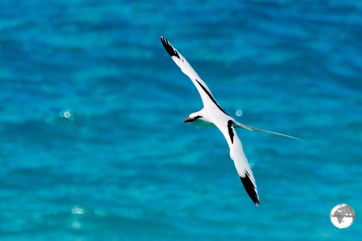 Native to Bermuda, the White-tailed Tropicbird or Longtail, seen here on the north coast of Hamilton parish.