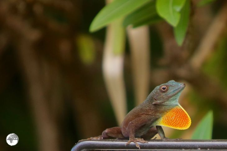 A Jamaican Anole at the Spittal Pond Nature Reserve.