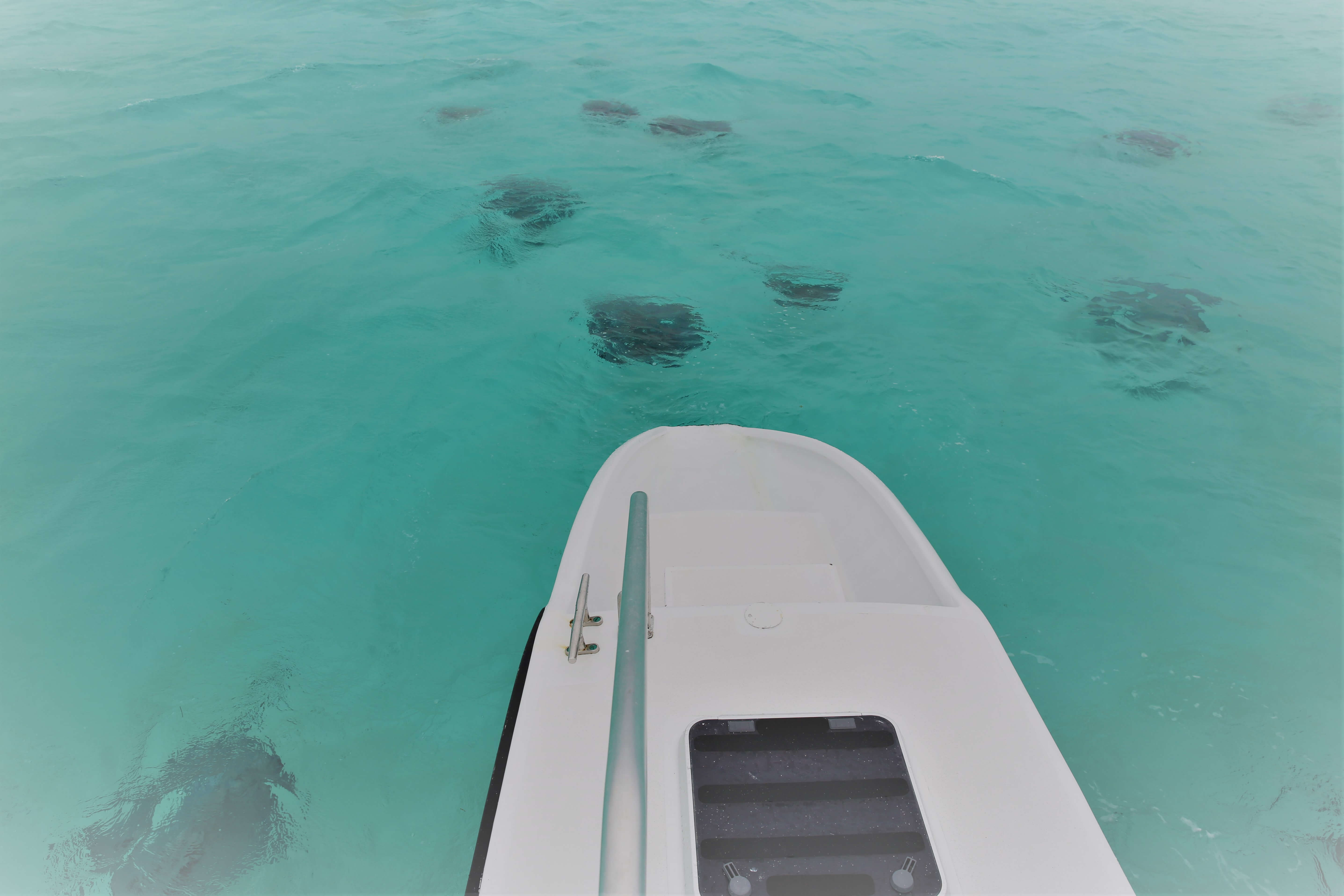 Stingray's surround our boat at Stingray city.