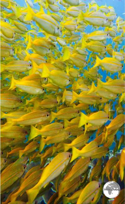 Yellow Snapper at South Miniloc.