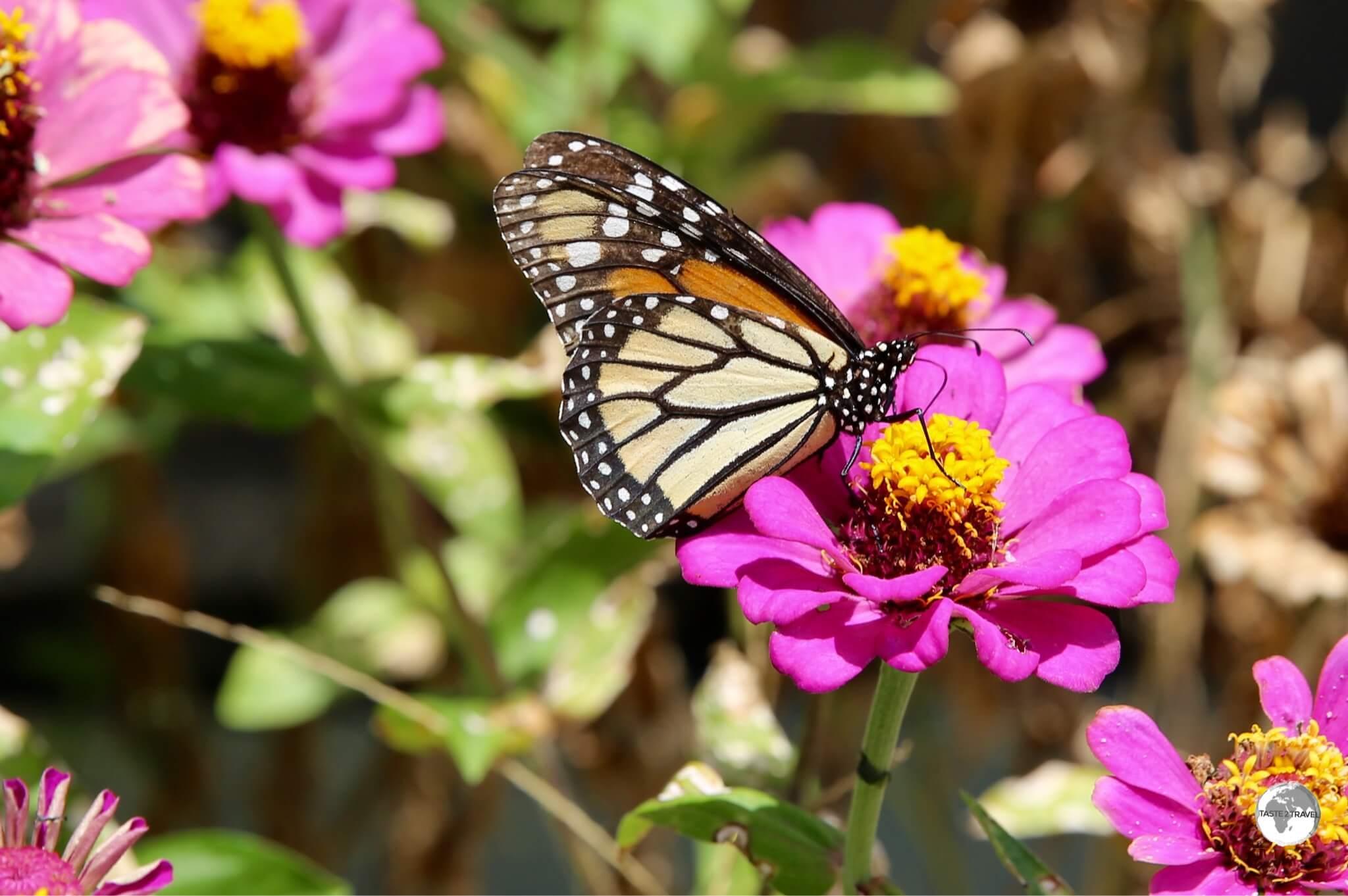 Monarch Butterfly on Wakenaam island.