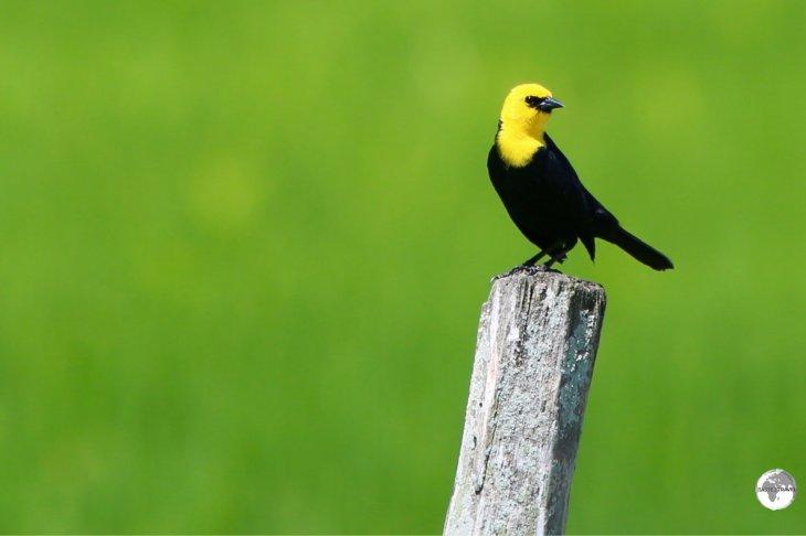 A Yellow-headed Blackbird on Wakenaam Island.