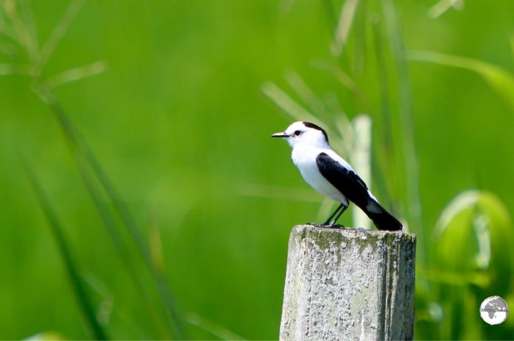 Pied Water-Tyrant.