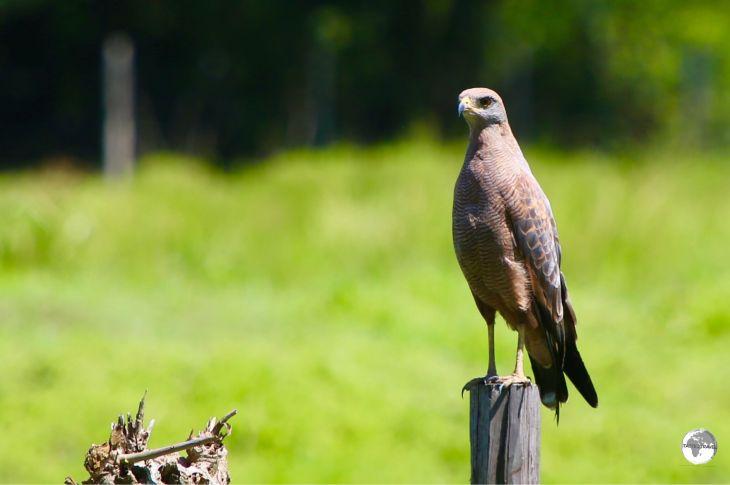 A Savannah Hawk on Wakenaam island.