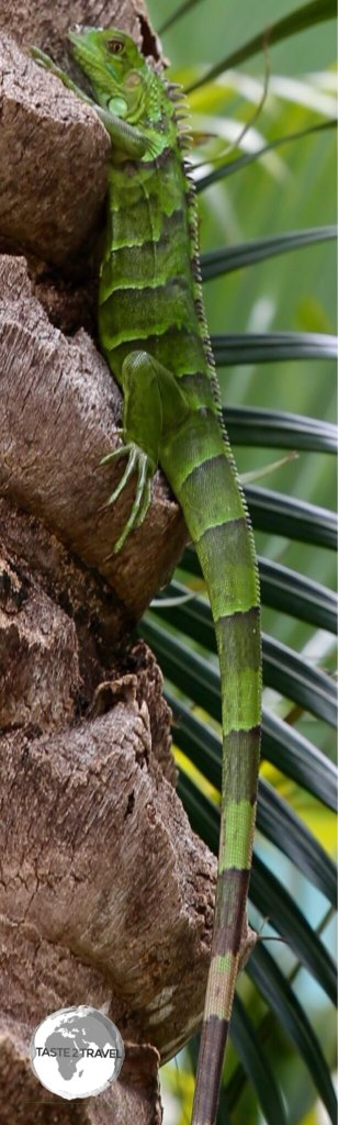Green Iguana on Grand Cayman