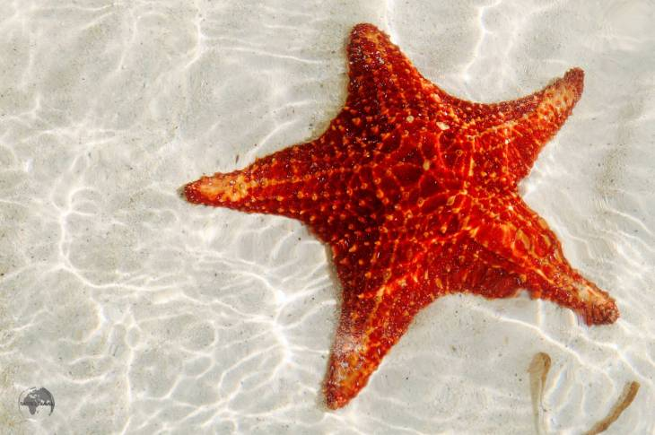 Starfish at Starfish Point, Grand Cayman.