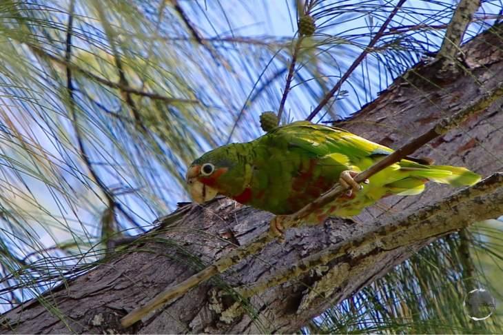 Cayman Island parrot