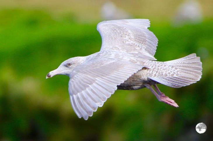 An Iceland gull flying at Ólafsvík.