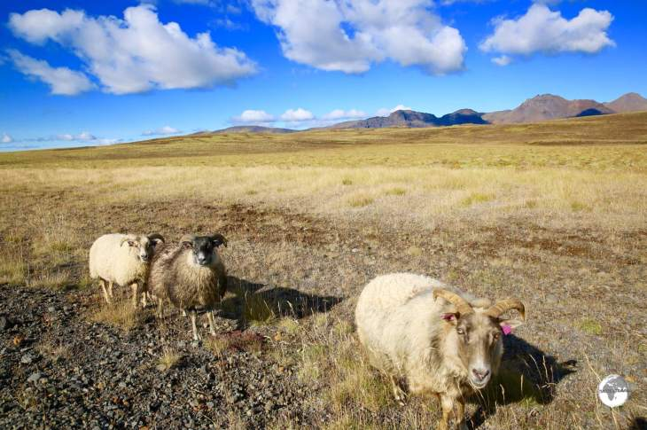 Often a road hazard - Icelandic sheep roam freely in Þingvellir National Park and all over the island.