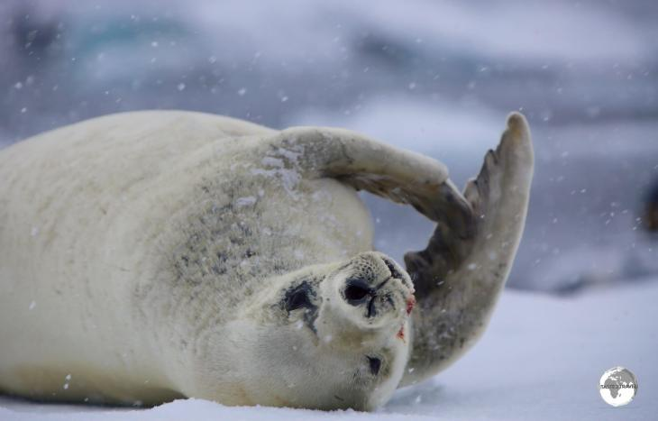 A Crabeater seal lazes on an ice floe near Adelaide island, Antarctica.