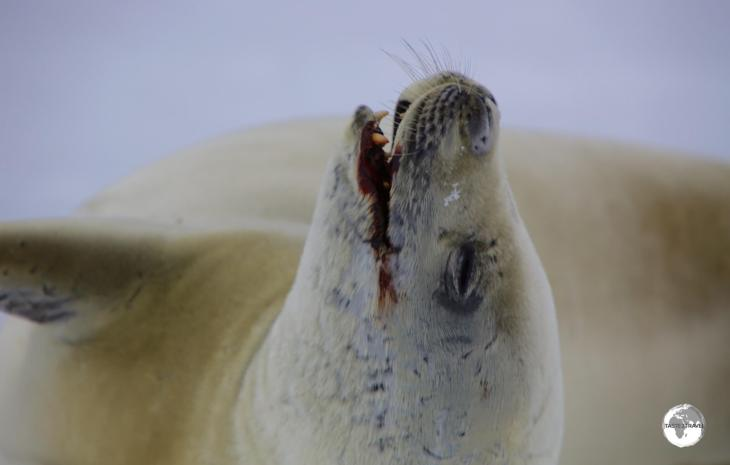 Due to their diet of krill, Crabeater seals, such as this one in Crystal sound, often have a blood-red stain around their mouths.