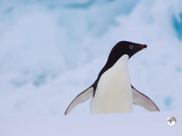 An Adélie penguin,airing its flippers on Detaille island.