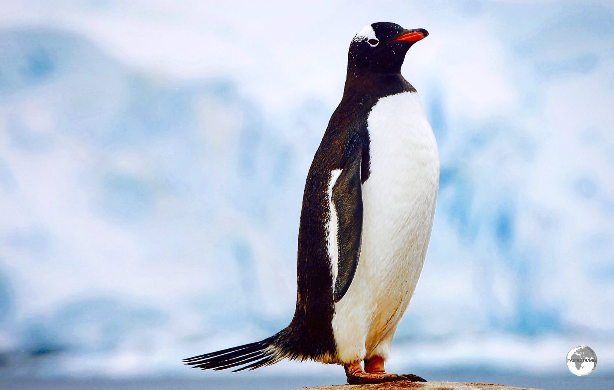 A Gentoo penguin at Port Lockroy. The 'tuxedo' colours of penguins serve as 'counter' camouflage, allowing them hide from predators while in the water.