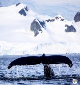 """Wilhelmina Bayis known as """"Whale-mina Bay"""" and it lived up to its reputation, with multiple pods swimming in close proximity to our small, exposed zodiacs."""