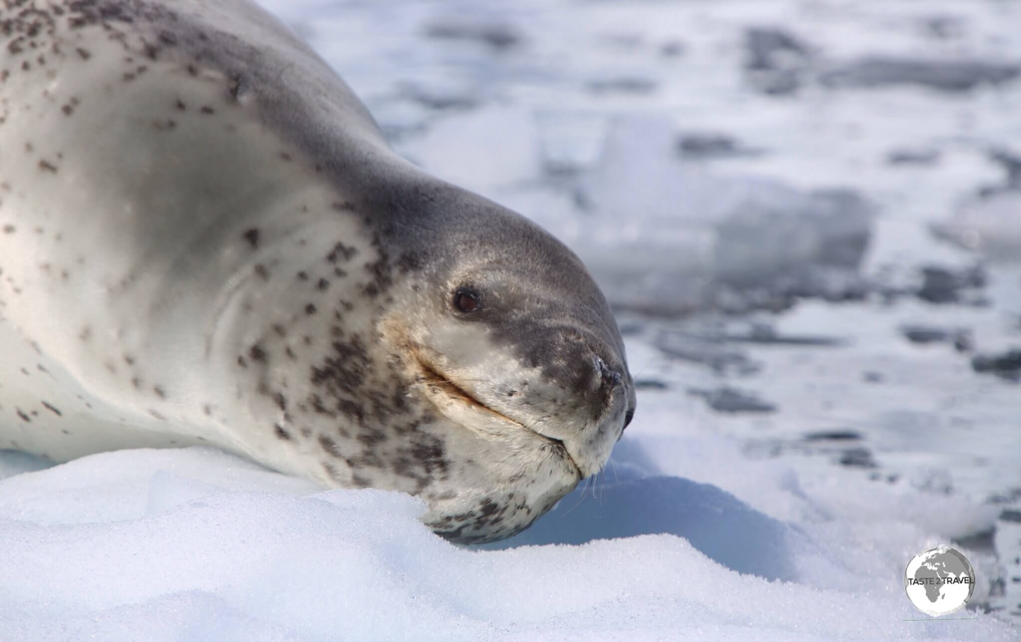 Despite his seeming grin, the Leopard Seal is the bad boy of the seal world.