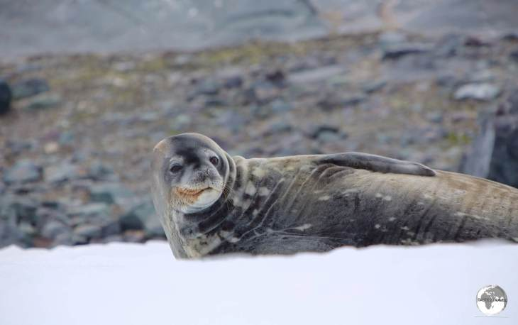 A Weddell Seal relaxing in the snow on D'Hainaut Island.