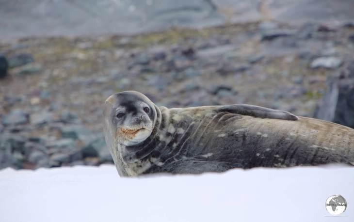 A Weddell Seal on D'Hainaut Island.