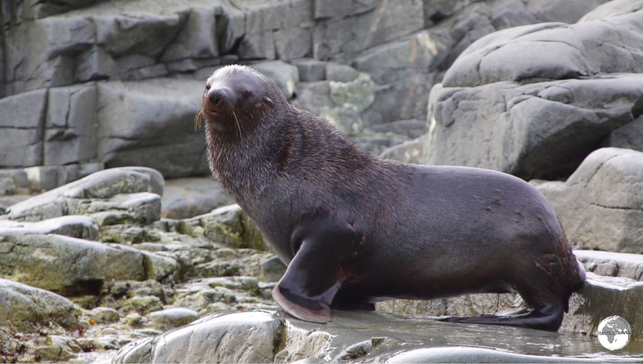 Almost hunted to extinction, the Fur Seal can be seen performing at zoos and marine parks around the world.