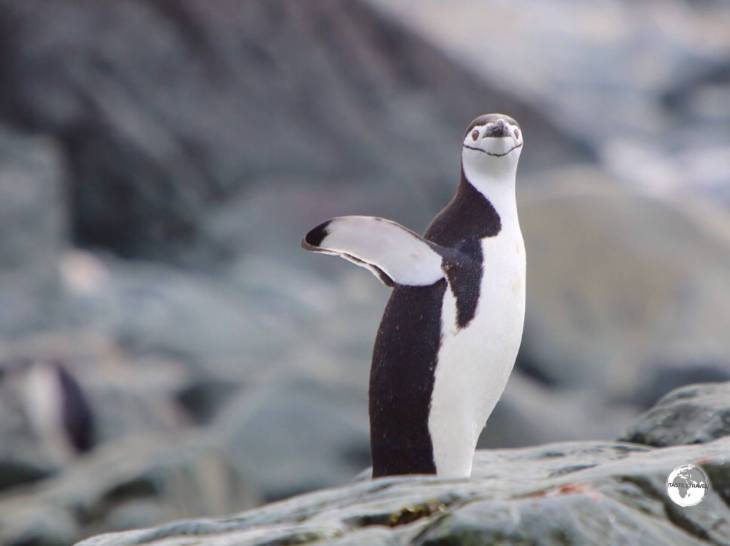 A Chinstrap penguin on Trinity Island, airing its flippers after emerging from the sea.