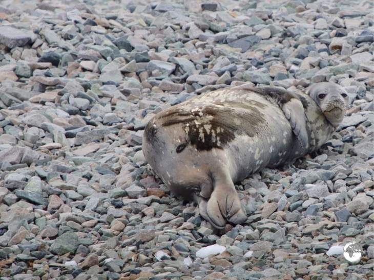 A Weddell seal, relaxing on the beach at Cuverville Island.