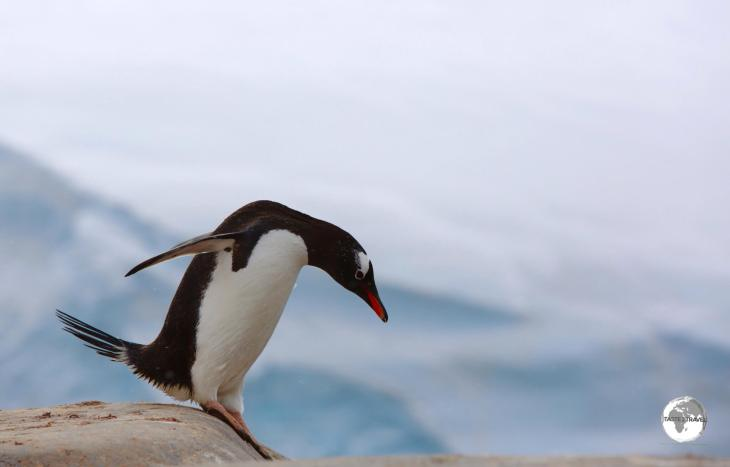 Gentoo penguins, such as this daredevil at Port Lockroy, are the 3rd-largest species of penguin, after the Emperor and King.