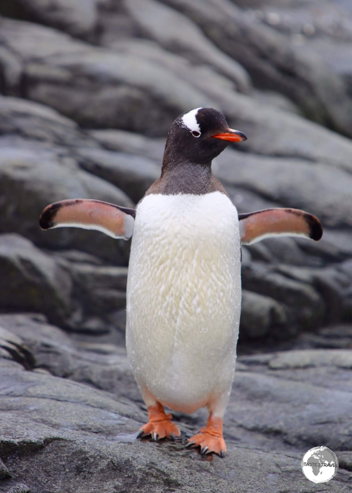 A Gentoo penguin at Port Lockroy drying its flippers after exiting the sea.