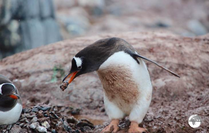 A male Gentoo penguin at Port Lockroy seeks 'favour' from a female by offering her a pebble for her nest.
