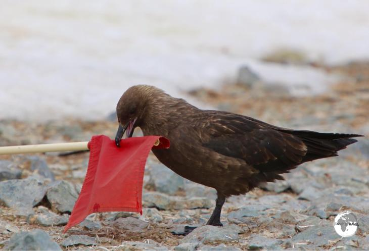 A mischievous South polar skua on Cuverville Island, trying to steal one of our warning flags.