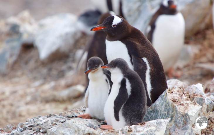 An adult Gentoo penguin with two chicks on Cuverville island.