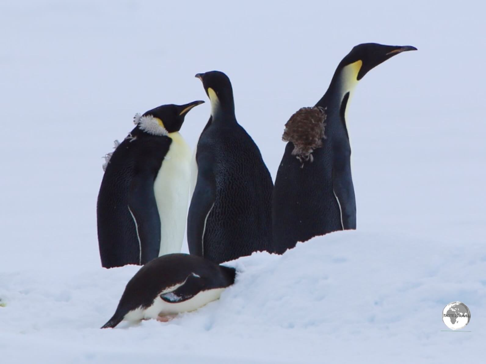 Emperor penguins in Crystal Sound still bearing the fluffy feathers from their annual Catastrophic Molt.