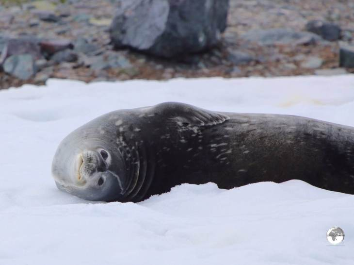 Unlike other seals, Weddell seals prefer to rest on solid ground (here on D'Hainaut Island) rather than ice floes where predators can attack them.