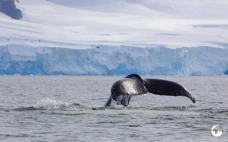 A Humpback whale diving in Wilhelmina (aka 'Whale-mina') bay.