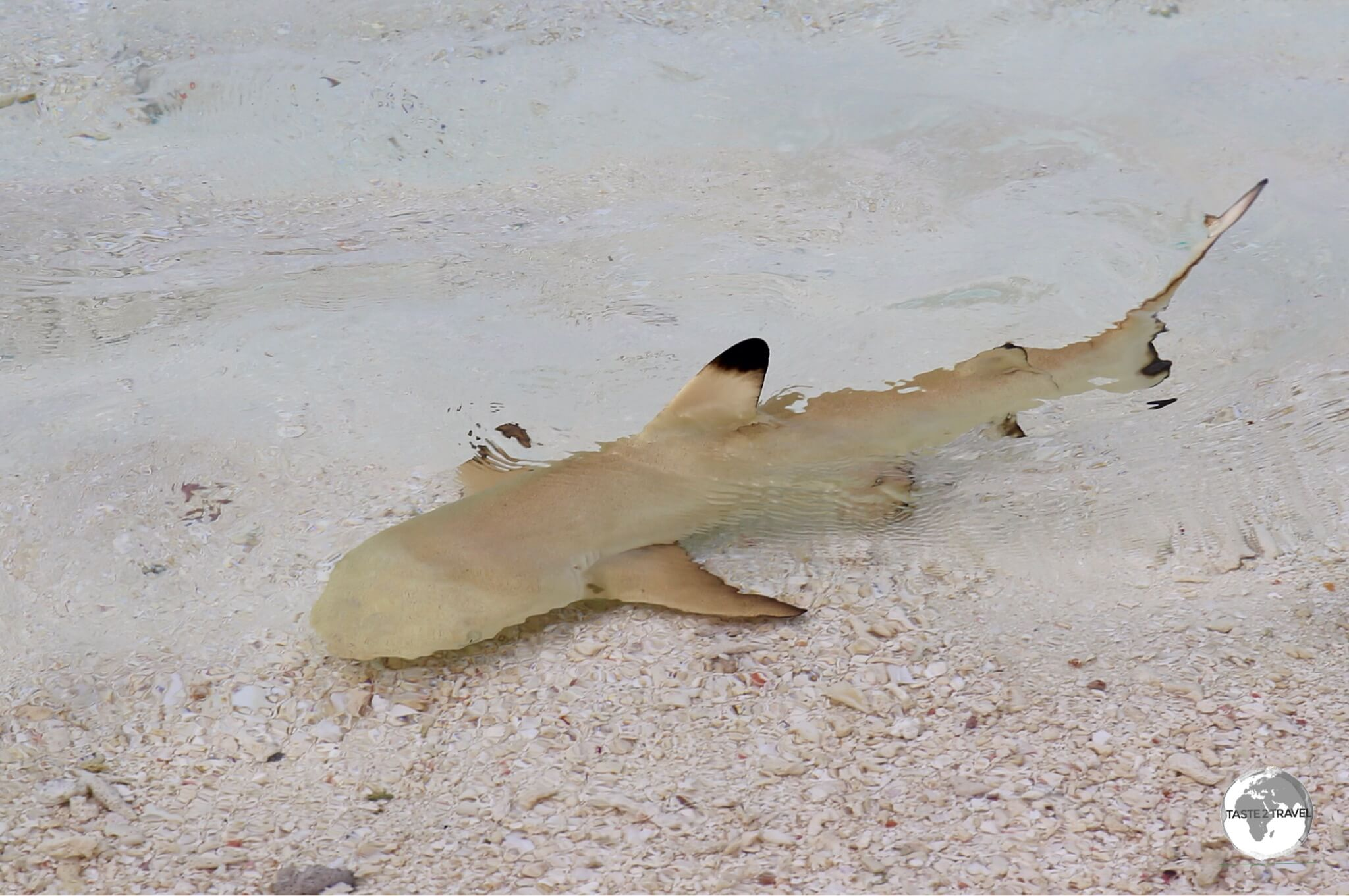 No shortage of sharks around Vilamendhoo, including baby black-tips constantly cruising along the shoreline.
