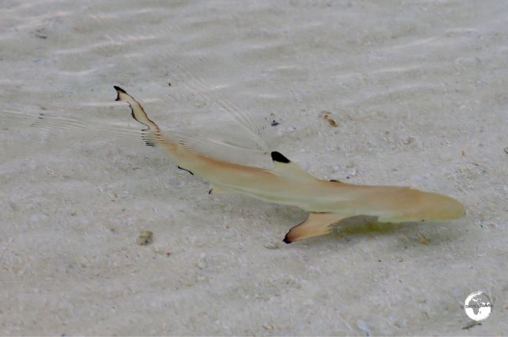 During my stay, baby black-tip reef sharks were constantly swimming along the shoreline of Vilamendhoo.
