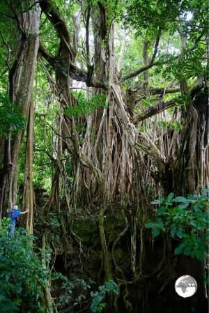 A tourist provides scale for the huge Ovava (Giant Strangling Fig) tree on 'Eua.