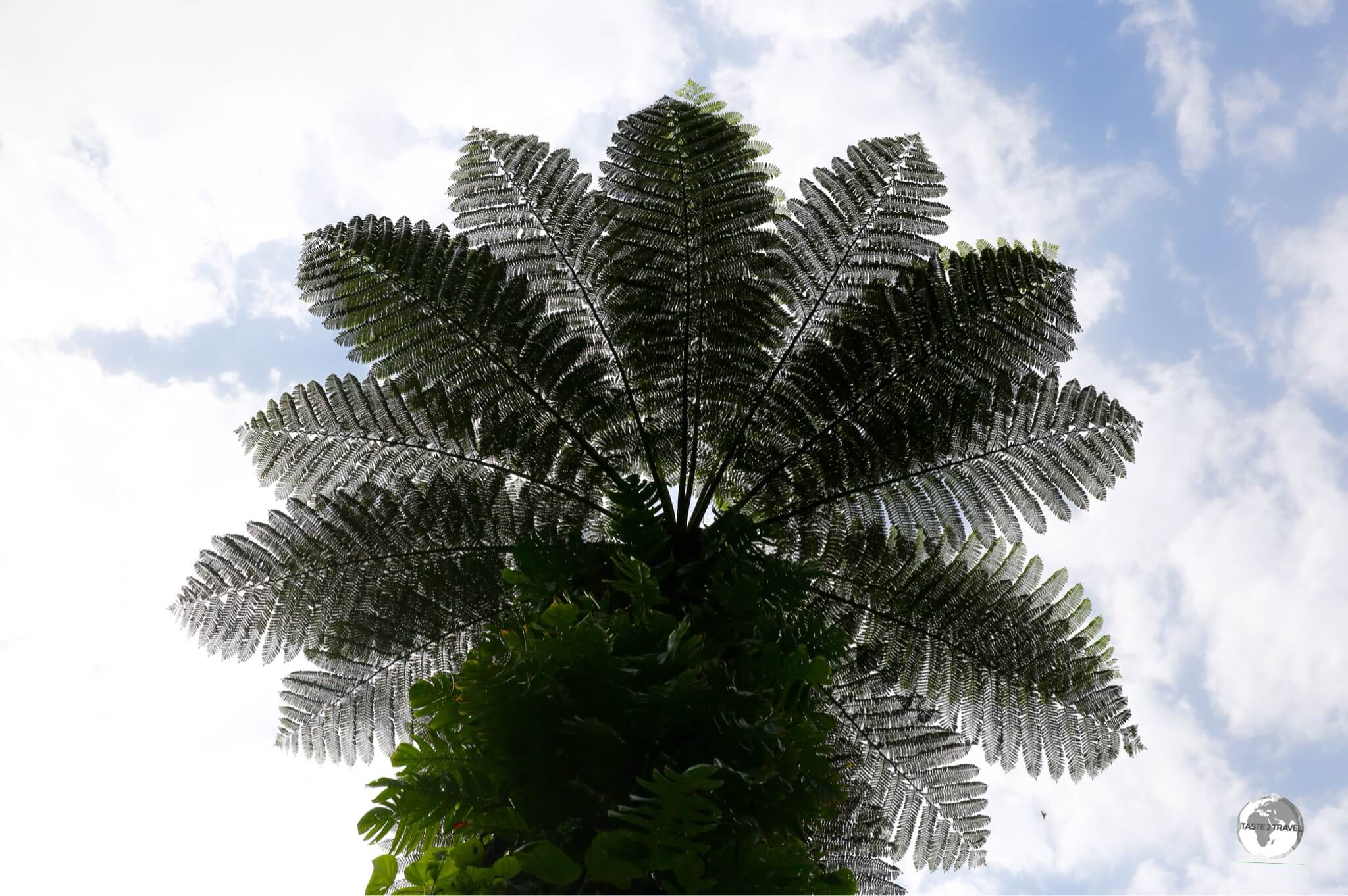 A towering tree fern deep in the rainforest on 'Eua island.