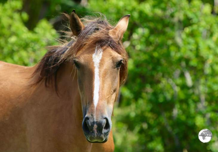 One of the many wild horses on 'Eua Island.