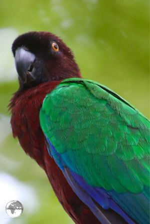 The elusive Maroon-shining parrot can be found on tiny Fafa Island Resort.