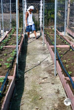 A worker tending to new vegetable crops at the Taiwan-sponsored vegetable farm. The poor limestone soil on the atoll requires crops to be grown in raised planter boxes.